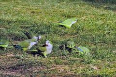 Argentinien-Papagei lizenzfreies stockfoto