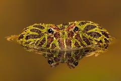 Argentinischer gehörnter Frosch (Ceratophrys Ornata) Stockfotografie
