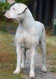 Argentino de Dogo que se coloca en la hierba Fotografía de archivo