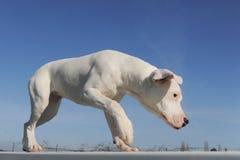 Argentino del dogo del perrito imagenes de archivo