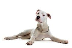 Argentino del dogo del perrito foto de archivo