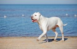 Argentino Dogo στην παραλία Στοκ φωτογραφία με δικαίωμα ελεύθερης χρήσης