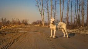 Argentino Dogo στο ξύλο Στοκ φωτογραφίες με δικαίωμα ελεύθερης χρήσης