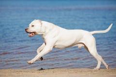 Argentino Dogo на пляже Стоковые Изображения RF