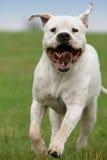Argentino van Dogo Royalty-vrije Stock Afbeeldingen
