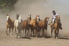 Argentinska hästar, pampas, Argentina Royaltyfria Bilder