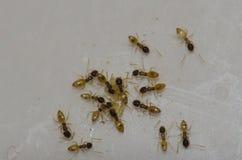 Argentinska myror som matar på matrester Royaltyfria Bilder