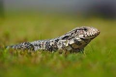 Argentinska svartvita Tegu, Tupinambismerianae, stor reptil i naturlivsmiljön, grönt exotiskt vändkretsdjur i gräsplanen mig arkivfoton