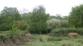 Argento che dell'albero di betulla aspetta al bordo della foresta 1 fotografie stock libere da diritti
