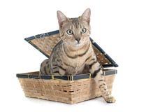Argento del gatto del Bengala Fotografie Stock