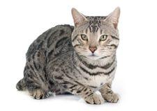 Argento del gatto del Bengala Fotografia Stock Libera da Diritti