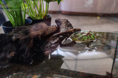 Argentyńczyk Rogata żaba Fotografia Royalty Free