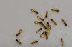 Argentyńskie mrówki karmi na karmowych świstkach obraz stock