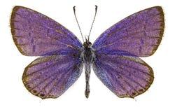 Argiades di Cupido (blu dalla coda corta) Fotografie Stock Libere da Diritti
