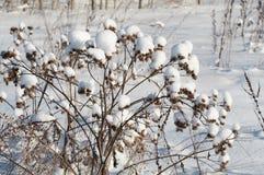 Argimony im Schnee Stockbild