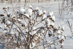Argimony in sneeuw Stock Afbeelding