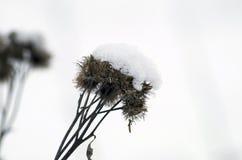 Argimony in sneeuw Royalty-vrije Stock Foto
