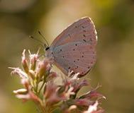 Argiolus Celastrina - μπλε πεταλούδα ελαιόπρινου Στοκ φωτογραφία με δικαίωμα ελεύθερης χρήσης