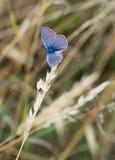 Argiolus Celastrina - μπλε μικρή πεταλούδα της Holly σε στάση Στοκ Φωτογραφία