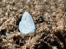 Argiolus Celastrina - μπλε πεταλούδα της Holly στο λίπασμα, σίτιση Στοκ εικόνες με δικαίωμα ελεύθερης χρήσης