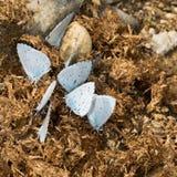 Argiolus Celastrina - μπλε πεταλούδες της Holly που ταΐζουν με το λίπασμα Στοκ Φωτογραφία