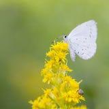 Argiolus celastrina πεταλούδων στα κίτρινα λουλούδια Στοκ Εικόνες