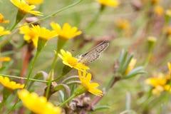 Argiolus Celastrina Στοκ εικόνες με δικαίωμα ελεύθερης χρήσης