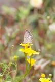 Argiolus de Celastrina imagenes de archivo