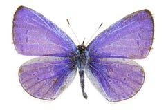 Argiolus de Celastrina (azul del acebo) Fotografía de archivo