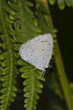 Argiolus de Holly Blue - de Celastrina Foto de Stock