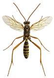 Argiolus Latibulus, μια παρασιτοειδής σφήκα ichneumonid Στοκ εικόνα με δικαίωμα ελεύθερης χρήσης