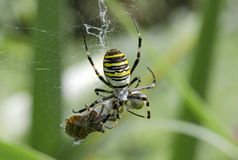 Argiopa spider with prey. In the garden Stock Photography