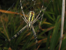 Argiopa Spider on the web. Arachnid predator Stock Image