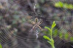 Argiope在日落的Audouin蜘蛛 库存图片