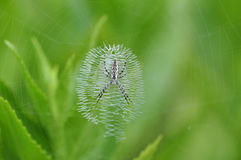 argiope蜘蛛 图库摄影