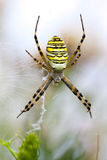 Argiope蜘蛛 库存图片