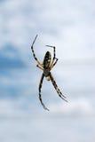 argiope黑色蜘蛛黄色 库存图片