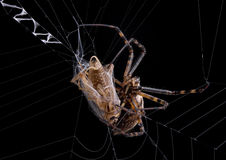 argiope αράχνη γρύλων Στοκ φωτογραφία με δικαίωμα ελεύθερης χρήσης