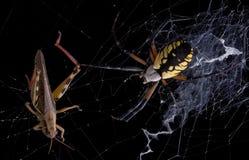 argiope αράχνη χοανών Στοκ εικόνες με δικαίωμα ελεύθερης χρήσης