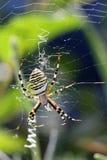Argiope (αράχνη) Στοκ φωτογραφία με δικαίωμα ελεύθερης χρήσης