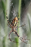 Argiope (αράχνη) Στοκ Εικόνες