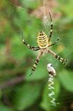 argiope αράχνη aurantia Στοκ φωτογραφία με δικαίωμα ελεύθερης χρήσης