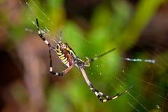 argiope αράχνη bruennichi Στοκ Εικόνες