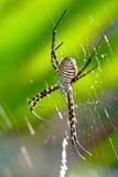 argiope αράχνη bruennichi Στοκ Φωτογραφία