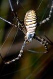 argiope αράχνη bruennichi Στοκ εικόνες με δικαίωμα ελεύθερης χρήσης