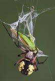 argiope δαγκώνοντας αράχνη χοανώ& Στοκ Εικόνα