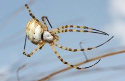 argiope λοβωτή αράχνη Στοκ Εικόνα