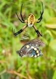 argiope μαύρη θηλυκή αράχνη κίτρινη Στοκ Εικόνες