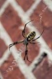 argiope μαύρος Ιστός αραχνών κίτρι& Στοκ εικόνα με δικαίωμα ελεύθερης χρήσης