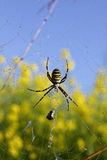 Argiope Stock Photography